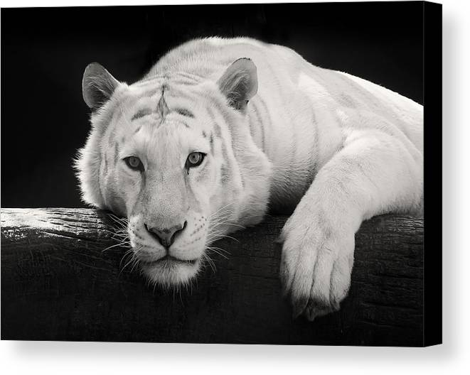 White Tiger Canvas Print featuring the photograph Mohan The White Tiger by Stephanie McDowell