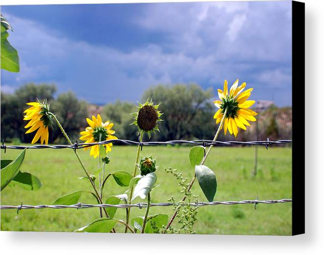 Photography Canvas Print featuring the photograph Monsoon Sunflowers by Heather S Huston