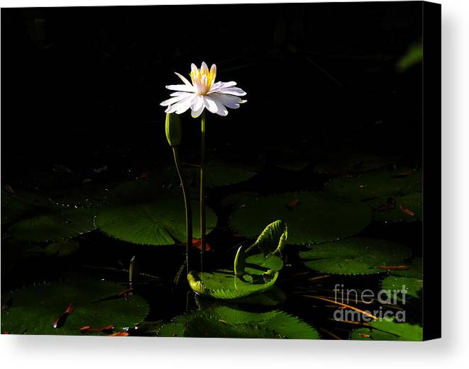 Morning Canvas Print featuring the photograph Morning Glory by David Lee Thompson