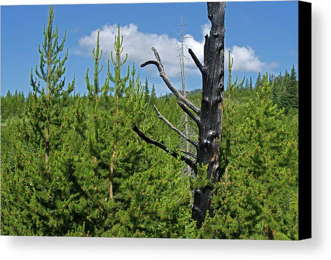 Pine Trees Canvas Print featuring the photograph New Growth by George Sanquist
