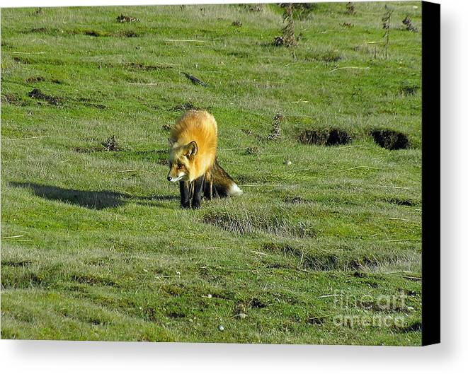 Fox Canvas Print featuring the photograph Red Fox by Louise Magno