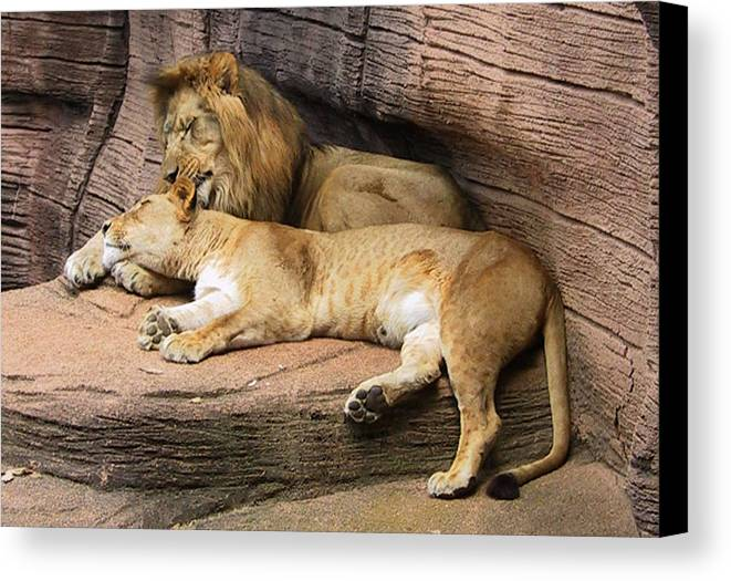 Lions Canvas Print featuring the photograph The Lions by Michele Caporaso