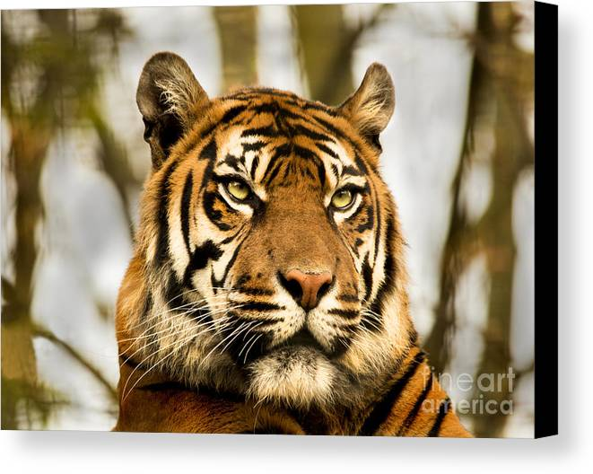 Tiger Orange Jungle Cats Feline Furry Zoo Canvas Print featuring the photograph Tiger by Chris Wharmby