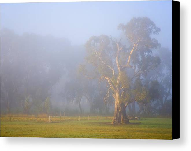 Tree Canvas Print featuring the photograph White Gum Morning by Mike Dawson