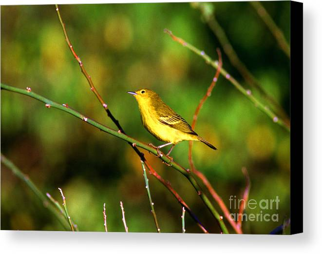 Yellow Warbler Canvas Print featuring the photograph Yellow Warbler Galapagos Islands by Thomas R Fletcher
