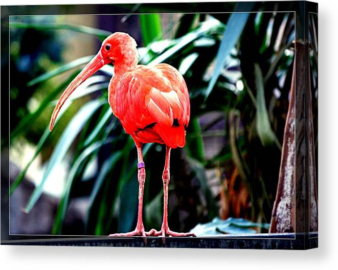 Birds Canvas Print featuring the photograph Scarlet Ibis by Al Fritz