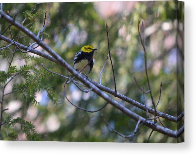 Black-throated Green Warbler Canvas Print featuring the photograph Spring Black-throated Green Warbler by James Petersen