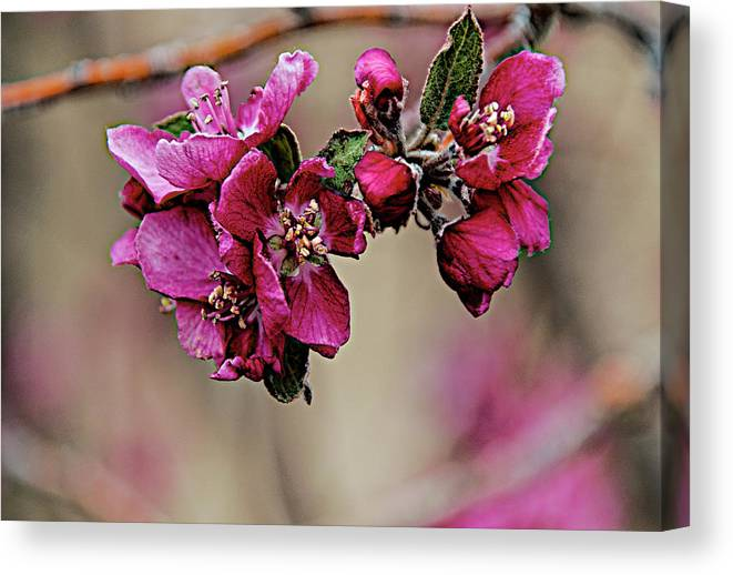 Spring Canvas Print featuring the photograph A Sign Of Spring by Charles Muhle