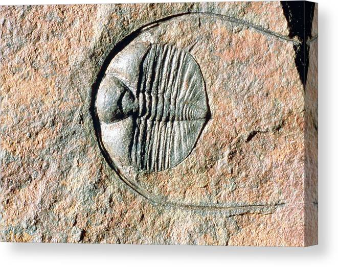 Trilobite Canvas Print featuring the photograph An Internal Fossil Cast Of Trilobite by Sinclair Stammers/science Photo Library