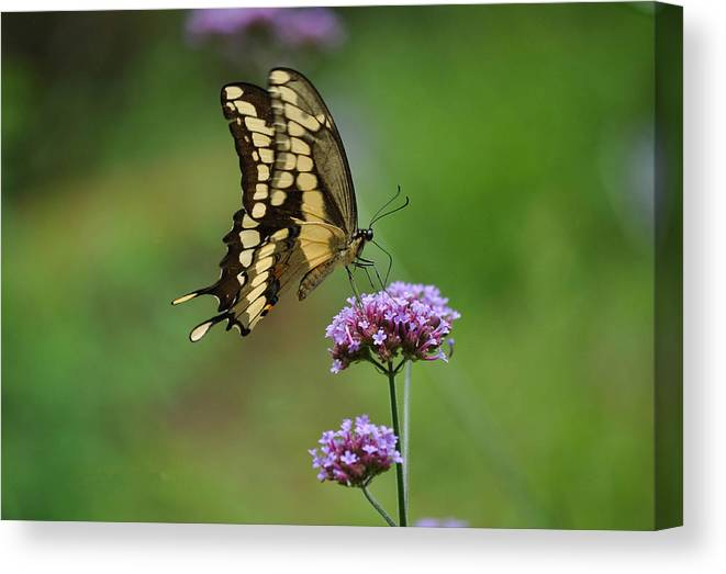 Butterfly Canvas Print featuring the photograph Butterfly On Purple Flower by Judith Russell-Tooth