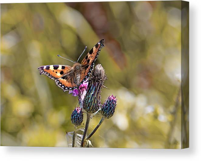 Butterfly Canvas Print featuring the photograph Butterfly On Tistle Sep by Leif Sohlman