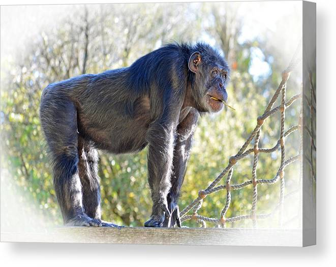 Chimpanzee With A Treat In His Mouth Canvas Print featuring the photograph Elderly Chimpanzee by Jim Fitzpatrick