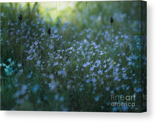 Forget Me Nots Canvas Print featuring the photograph Forget Me-nots by Alana Ranney
