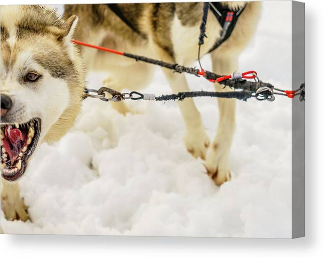 Photography Canvas Print featuring the photograph Husky Sled Dogs, Lapland, Finland by Panoramic Images