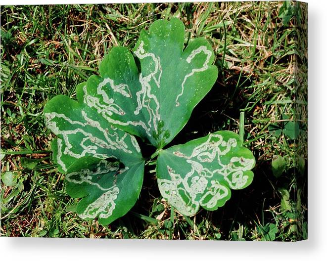 Leaf Miner Canvas Print featuring the photograph Leaf Miner Damage by Maurice Nimmo/science Photo Library