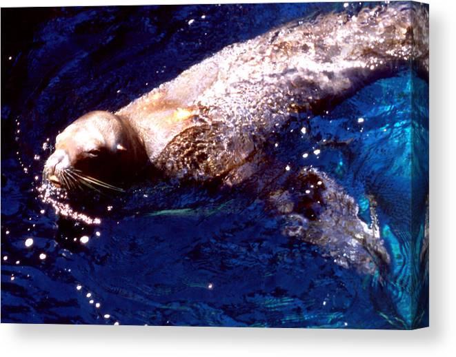 Animals; Sea Lions; Still Lifes; Fine Art. Canvas Print featuring the photograph Sea Lion Swim by Robert Rodvik