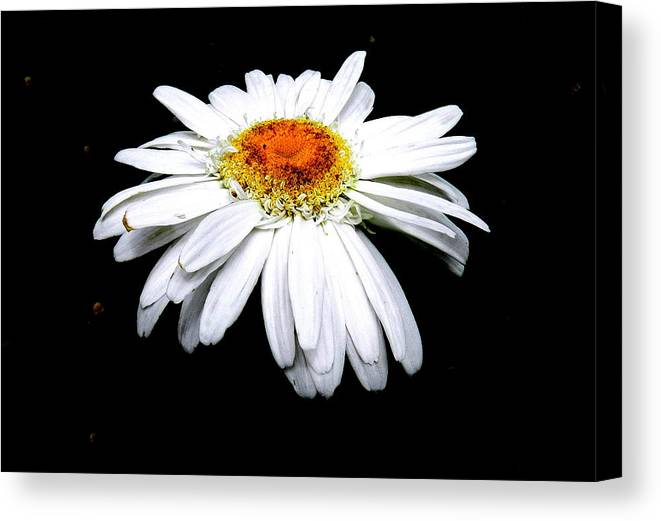 White Daisy Canvas Print featuring the photograph Serenity by Sheri Copeland