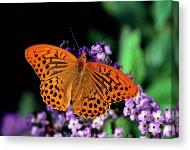 Argynnis Paphia 2. Canvas Print featuring the photograph Silver Washed Fritillary Butterfly by Chris Martin Bahr/science Photo Library