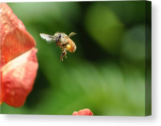 Bee Canvas Print featuring the photograph To Bee Or Not by Phillip Garcia