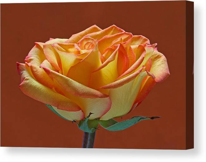 Rose Canvas Print featuring the photograph Beautiful Rosa by Juergen Roth