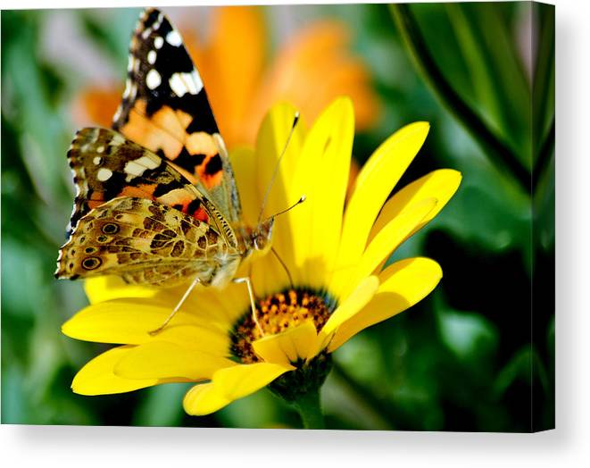 Butterfly Canvas Print featuring the photograph Butterfly by Ahmed Moustafa