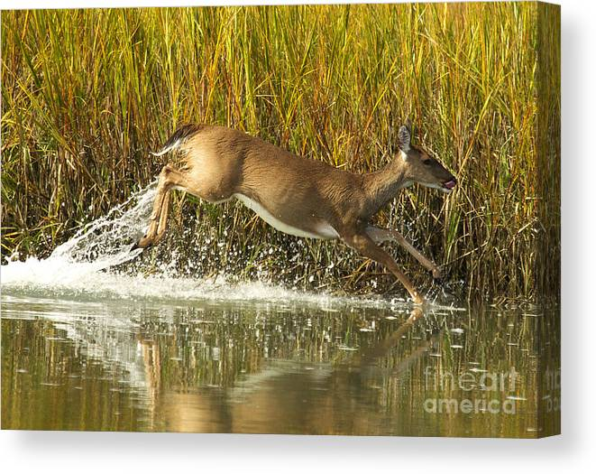 Deer Canvas Print featuring the photograph Deer Running Through The Salt Marsh by TJ Baccari