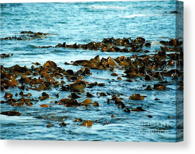 New Zealand Canvas Print featuring the photograph Floating Seaweed by Jackie Sherwood