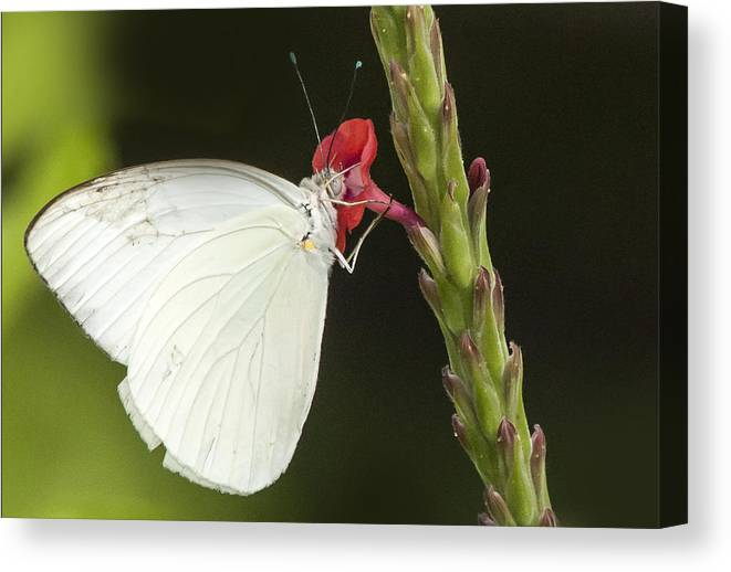 Butterfly Canvas Print featuring the photograph Nectar by Don Durfee