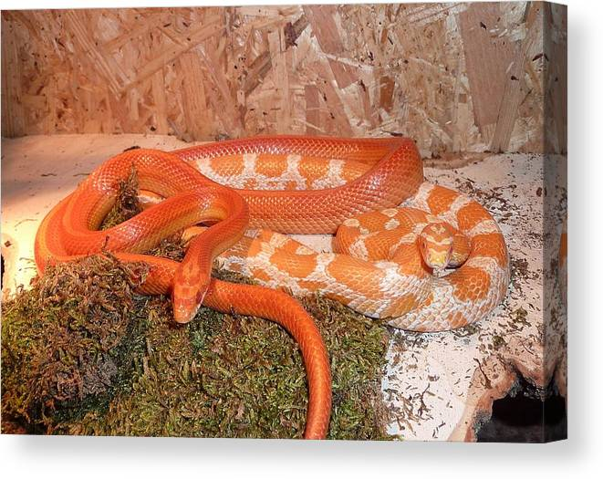 Corn Canvas Print featuring the digital art Corn Snake by FL collection