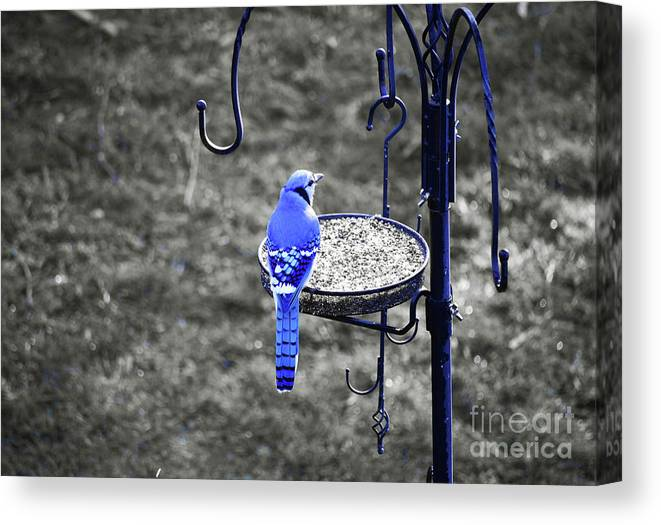 Blue Jay Canvas Print featuring the photograph Blue Jay by Patti Whitten