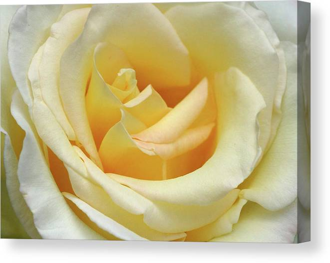 White Canvas Print featuring the photograph Butter Rose by Cate Franklyn