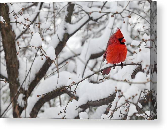 Snow Canvas Print featuring the photograph Cardinal In The Snow 3 by Robert Ullmann