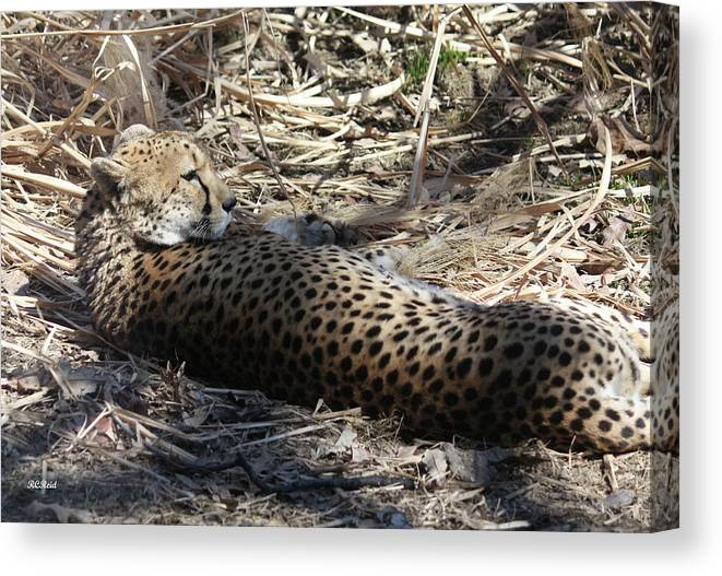 Maryland Canvas Print featuring the photograph Cheetah Awakened by Ronald Reid