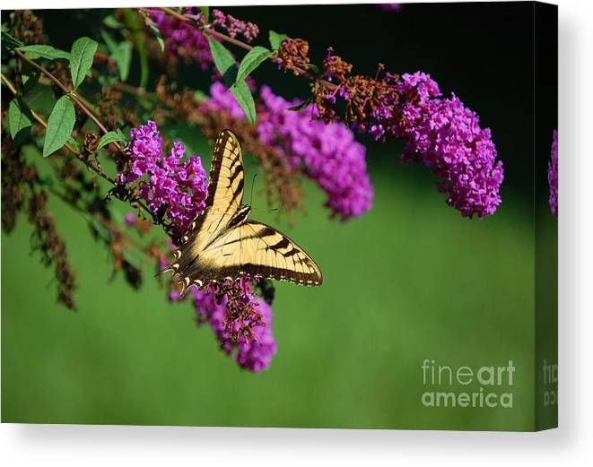 Butterfly Canvas Print featuring the photograph Freedom by Debbi Granruth