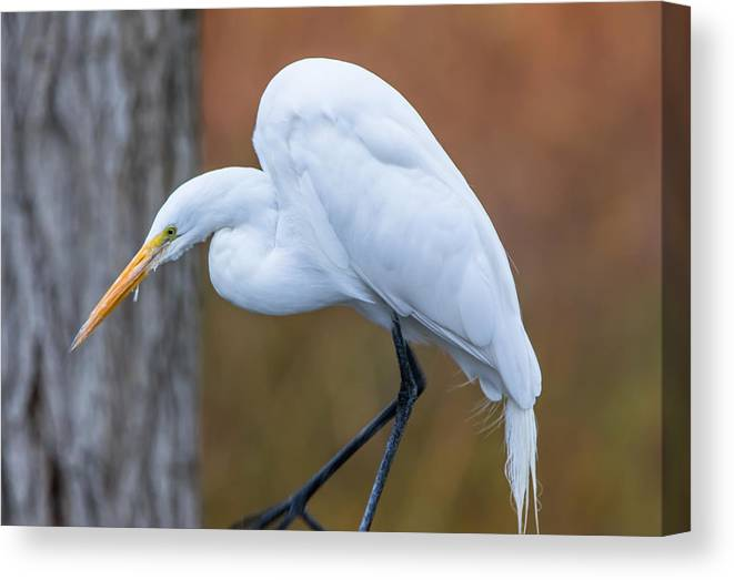 California Canvas Print featuring the photograph Great White Egret by Marc Crumpler