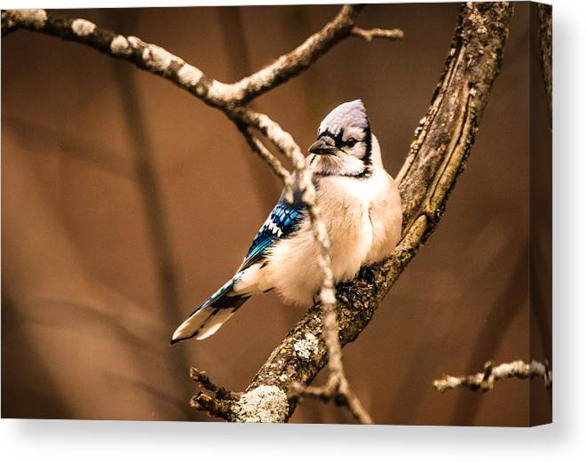 Blue Jay Canvas Print featuring the photograph Jay by Heather Hubbard