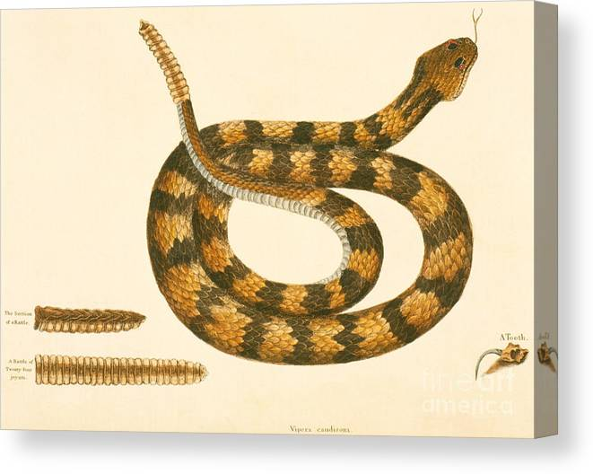 Viper Caudison Snake Canvas Print featuring the drawing Rattlesnake by Mark Catesby