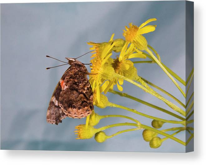 Red; Admirable; Admiral; Vanessa; Atalanta; Vanessa Atalanta; Searching; Fo; Nectar; Butterflies; Inset; Bug; Fly; Flight; Wing; Yellow; Buttercup; Sipping; Nectar; Drinking; Eating; Resting Canvas Print featuring the photograph Red Admirable Butterfly by Buddy Mays