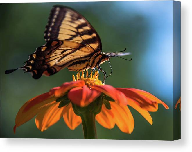 Butterflies Canvas Print featuring the photograph Tiger Swallowtail - 3 by Becky Portwood