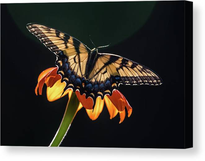 Butterflies Canvas Print featuring the photograph Tiger Swallowtail by Becky Portwood