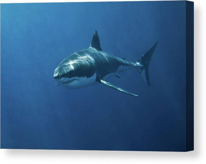 Underwater Canvas Print featuring the photograph Great White Shark by John White Photos