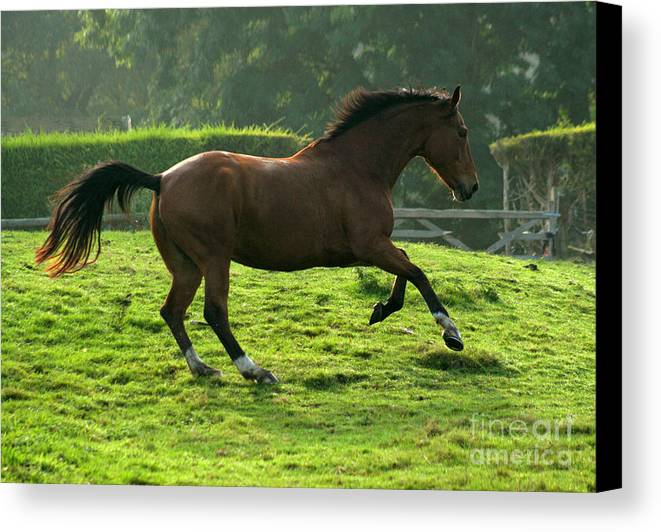 Grey Horse Canvas Print featuring the photograph The Bay Horse by Angel Ciesniarska