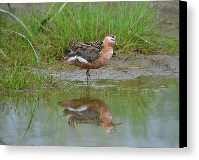 Red Phalarope Canvas Print featuring the photograph Red Phalarope by James Petersen