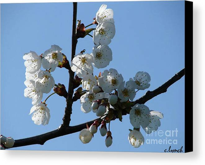 Blossoms Canvas Print featuring the photograph Blossoms by Carol Lynch