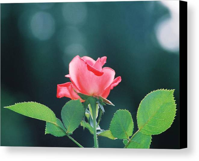 Rose Canvas Print featuring the photograph Coral Sunshine by Cynthia Syracuse