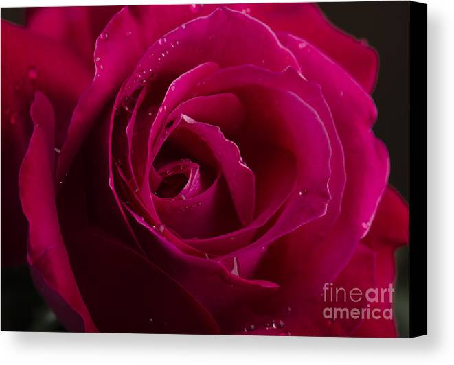 Rose Canvas Print featuring the photograph Red Rose by Jelena Jovanovic