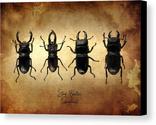 Stag Beetles Canvas Print featuring the photograph Stag Beetles by Mark Rogan