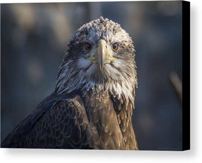 Bald Eagle Canvas Print featuring the photograph Young Eagle by Phil Abrams