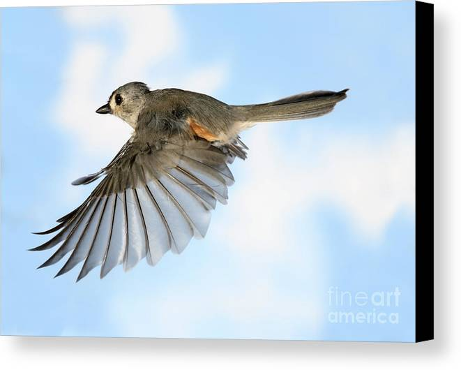 Songbirds Canvas Print featuring the photograph Tufted Titmouse In Flight by Ted Kinsman