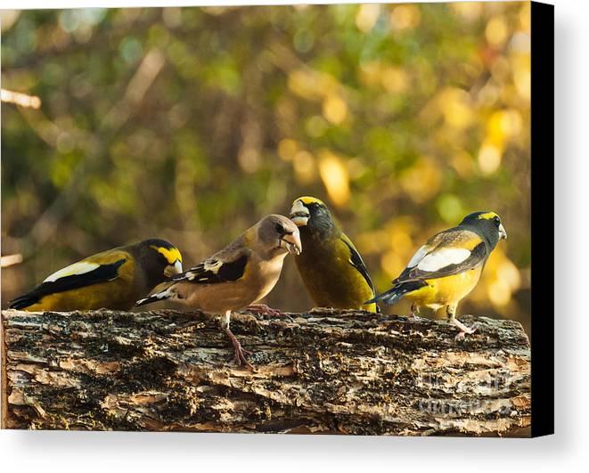 Grosbeaks Canvas Print featuring the photograph Birds Of Yellow by Cheryl Baxter